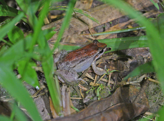 Leptodactylus validus
