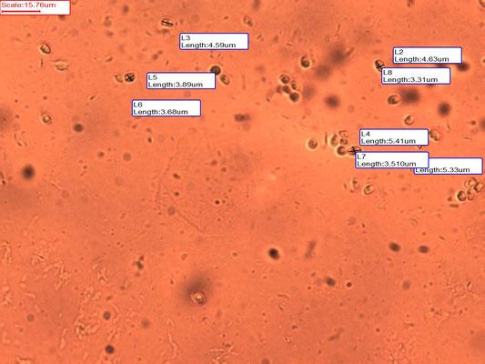 Tricholoma scalpturatum - Zilvergrijze ridderzwam
