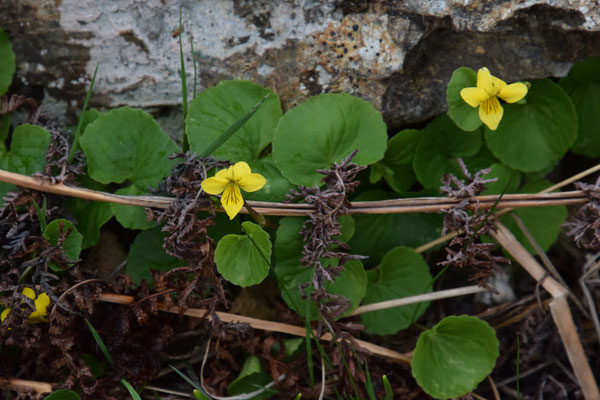 Viola biflora - Geel bosviooltje