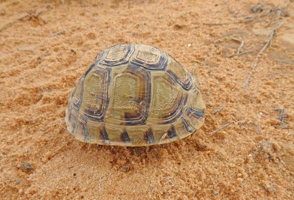 Testudo kleinmanni - Egyptische landschildpad