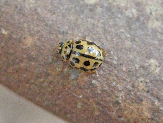 Tytthaspis sedecimpuncta - Zestienpuntslieveheersbeestje