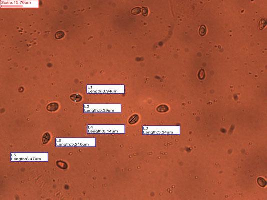 Crepidotus lundellii - Bleek oorzwammetje