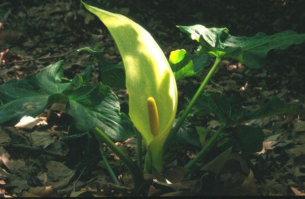Arum italicum - Italiaanse Aronskelk