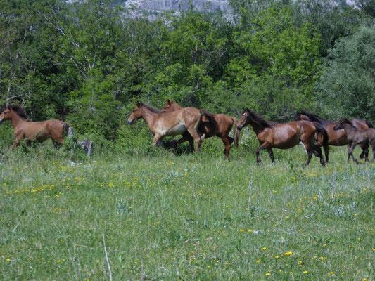 wildlopende paarden