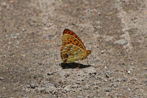 Bosrandparelmoervlinder of Adippevlinder (Argynnis adippe)
