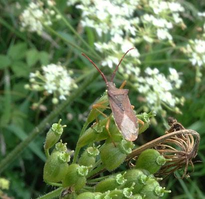 Gonocerus acuteangulatus - Smalle randwants
