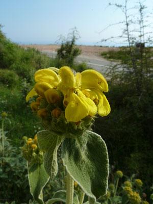 Phlomis fruticosa - Geel brandkruid
