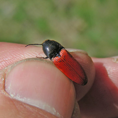 Ampedus cinnabarinus - Vermiljoenrode kniptor