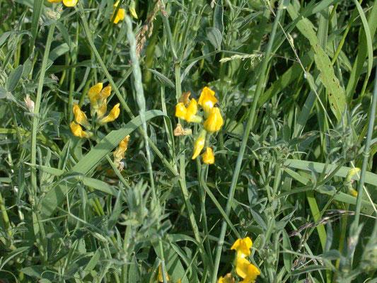 Lathyrus pratensis - Veldlathyrus