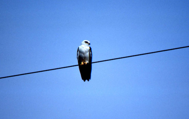 American Black-shouldered Kite