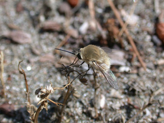 Bombylius species