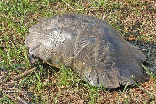 Testudo marginata weissingeri - Dwergklokschildpad