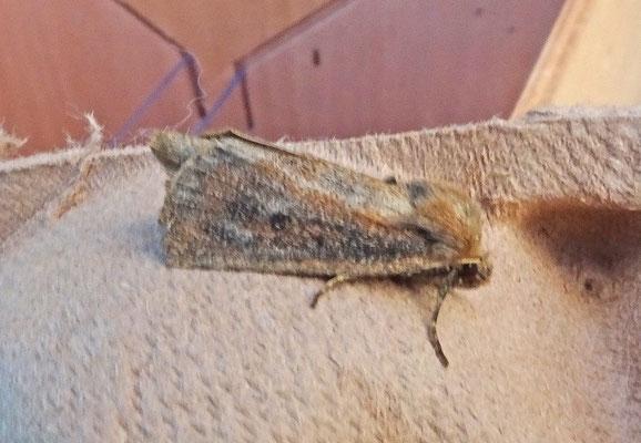 Lenisa geminipuncta - Gestippelde rietboorder