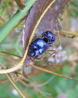 Chrysolina coerulans - Blauwe munthaan