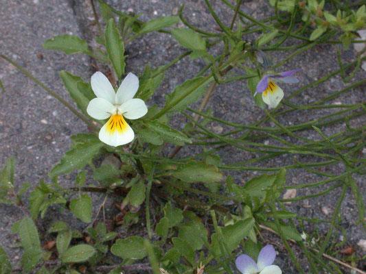 Viola tricolor - Driekleurig viooltje
