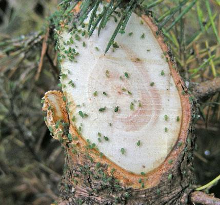 Bladluis op naaldhout