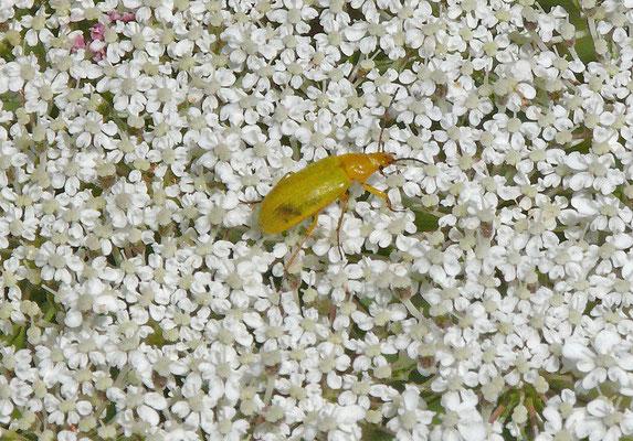 Cteniopus sulphureus - Gele Bloemenkever