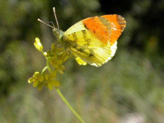 geel oranjetipje (Anthocharis euphenoides), man