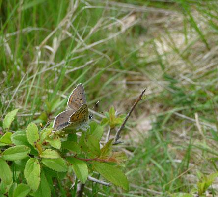 bruine vuurvlinder (Lycaena titurus)
