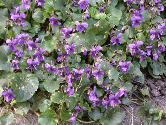 Viola odorata - Maarts viooltje