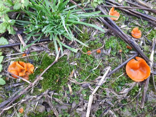 Grote oranje bekerzwam