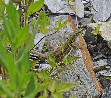 Ruïnehagedis (Podarcis siculus)