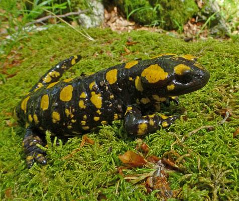Salamandra corsica - Corsicaanse vuursalamander