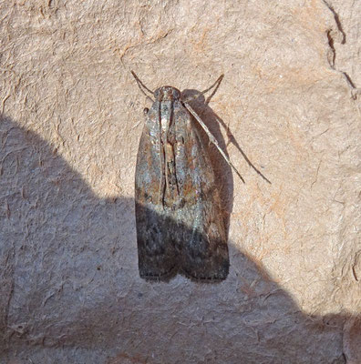 Phycita roborella - Eikenlichtmot