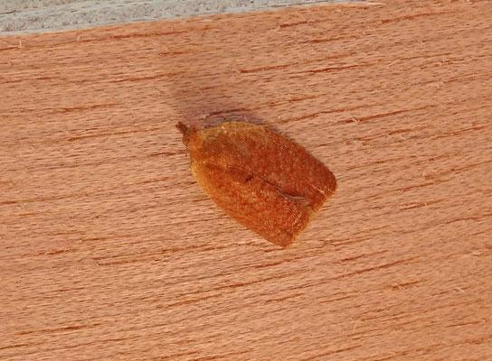 Clepsis consimilana - Tuinbladroller