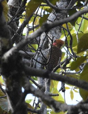 Waved Woodpecker