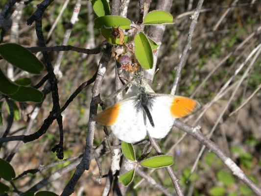 oranjetipje (Antocharis cardamines), man