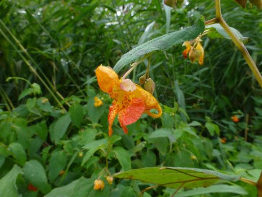 Impatiens capensis - Oranje springzaad