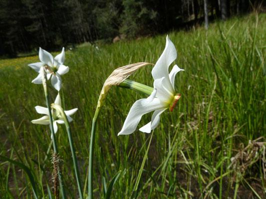 Narcis serotinus