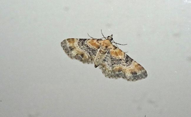Eupithecia pulchellata - Vingerhoedskruiddwergspanner