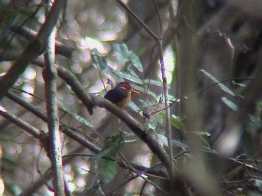 African Pygmee Kingfisher