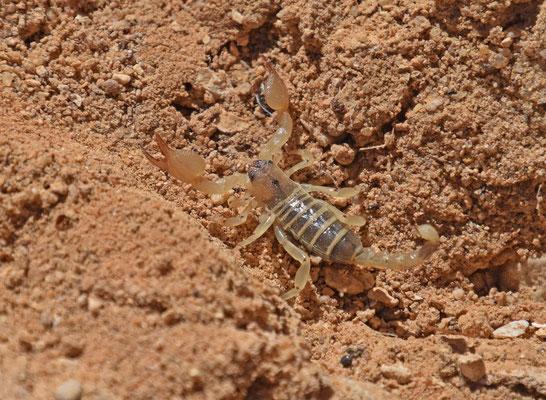 Scorpius maurus palmatus