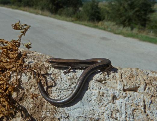 Ablepharus kitaibelii (slangoogskink)