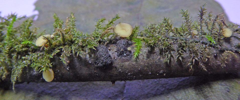 Hymenoscyphus ss. lato - vlieskelkjes en poederkelkjes