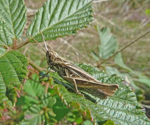 Chorthippus brunneus - Bruine sprinkhaan