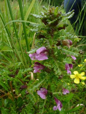 Pedicularis palustris - Moeraskartelblad
