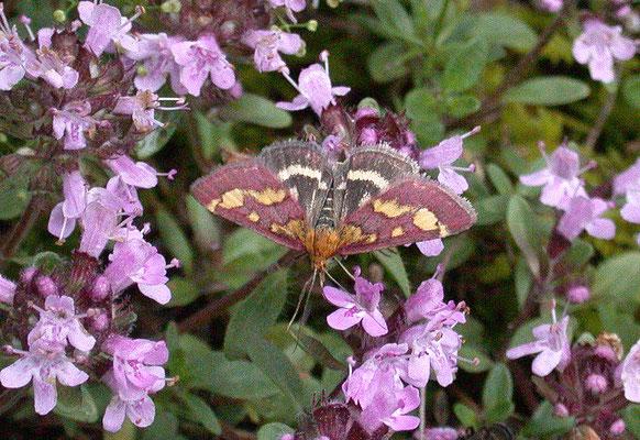 Pyrausta purpuralis - Purpermot