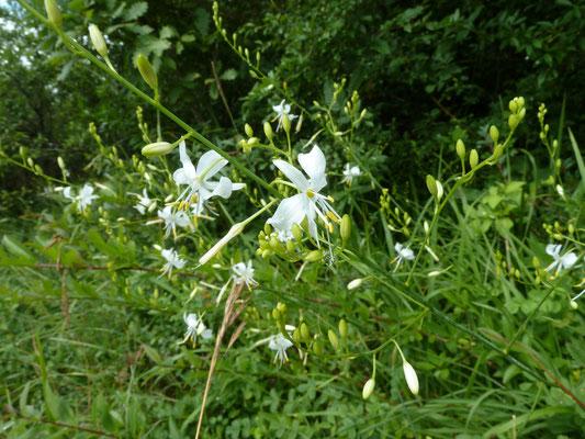 Anthericum liliago- Grote graslelie