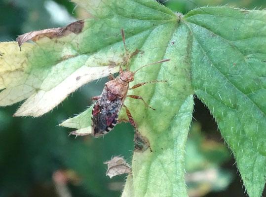 Rhopalus subrufus - Geblokte glasvleugelwants