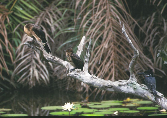 African Darter, African Long-tailed Cormorant and Giant Kingfisher