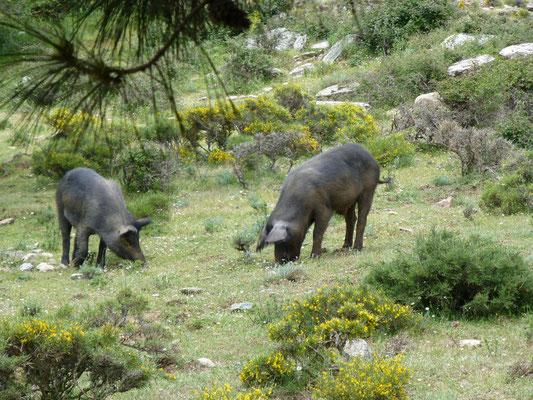 wilde varkens