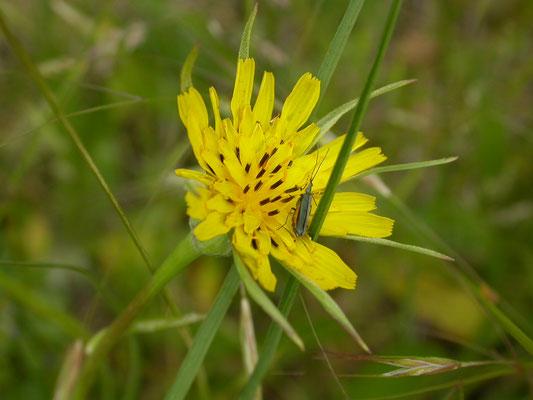 Tragopodon pratenis pratensis - Gele morgenster