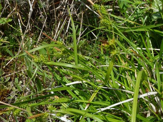 Carex oederia - Geelgroene zegge