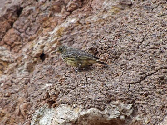 Oeverpieper ssp petrosus