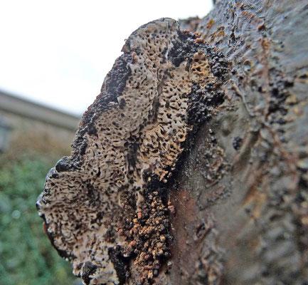 Datronia mollis - Wijdporiekurkzwam