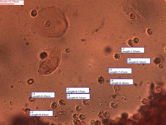 Lactarius lacunarum - Greppelmelkzwam